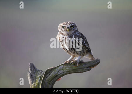 Little Owl, Athene noctua East Yorkshire, UK, sat on a perch, introduced to Britain during the 19th century. - Stock Photo