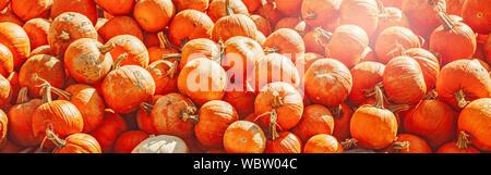 Fresh harvest yellow orange pumpkins on farm seasonal market. Raw organic natural texture background. Halloween and Thanksgiving concept. Web banner h - Stock Photo