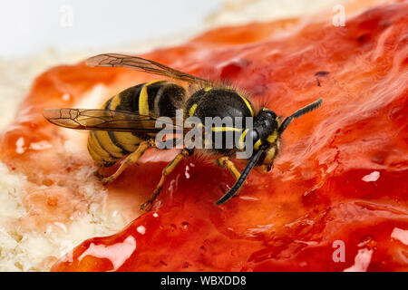 Common Wasp, Vespula vulgaris, feeding on a piece of bread and jam, Monmluthshire, Wales, March. Family Vespidae - Stock Photo