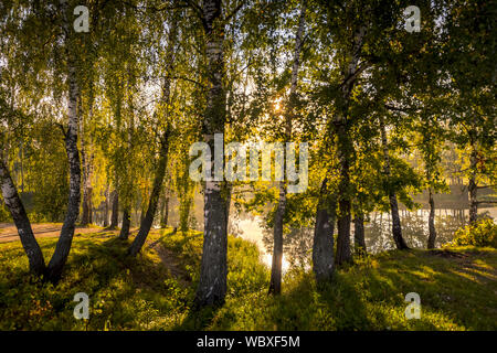 A scene of sunrise in a birch forest on a sunny summer morning with fog. Landscape. - Stock Photo