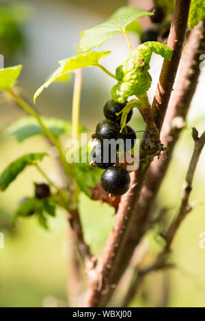 Blackcurrants (Ribes nigrum) growing on a bush. South Yorkshire, UK. - Stock Photo
