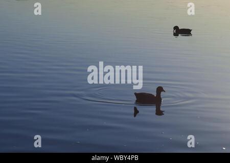 Coots Swimming On Lake - Stock Photo