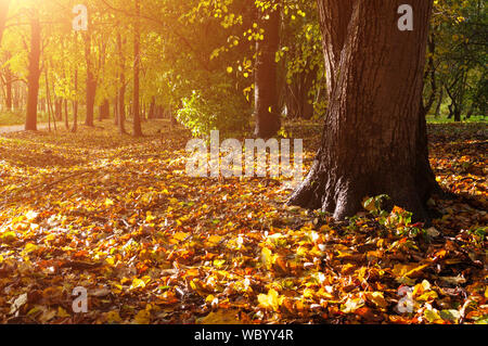 Fall forest landscape. Fallen fall leaves covering the ground and forest fall trees under soft sunlight - Stock Photo