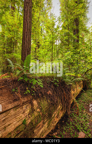 Fallen Redwood tree in Jedediah Smith State Park, Northern California - Stock Photo