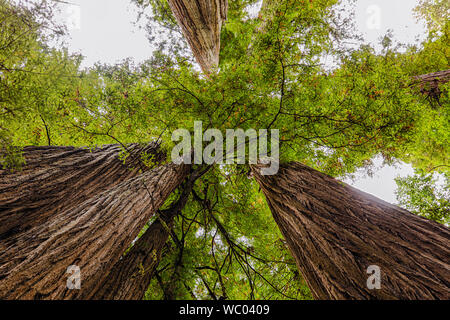View straight up between giant California Redwood trees in Northern California - Stock Photo