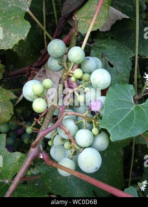 Close-up Of Concord Grapes Growing On Plant - Stock Photo