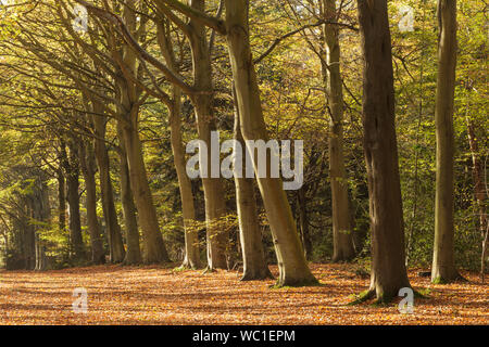 Felbrigg woods in Norfolk. The beech trees here form part of a huge V that were were planted in 1946, in memory of Richard Windham. - Stock Photo