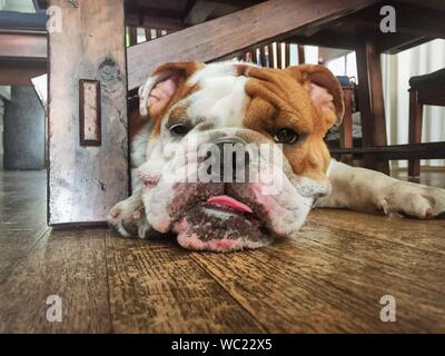 Close-up Portrait Of English Bulldog Resting On Hardwood Floor At Home - Stock Photo