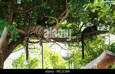 Clouded Leopard Lying On Branch At Forest - Stock Photo
