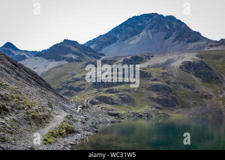 A Herd of Lamas Walking in a Narrow Trail by a lake by Mountains Freely - Stock Photo