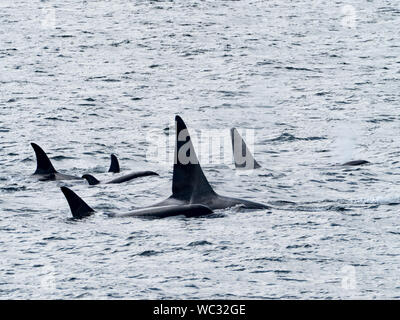 AG pod of resident killer whales, or orca, Orcinus orca, in the inside passage of Southeast Alaska USA - Stock Photo