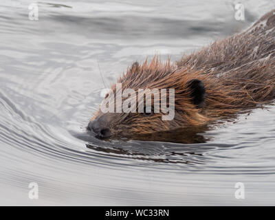 Beaver, Castor canadensis, swimming in a small stream in Glacier Bay National Park, Alaska, USA - Stock Photo
