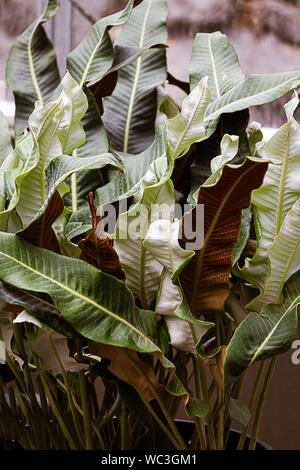 rippling wavy leaves in multicolored tangle from red to green, white, to yellow in a pot - Stock Photo
