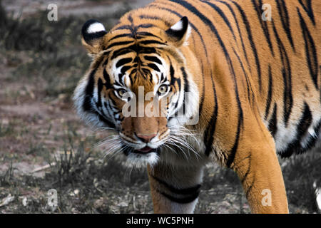 Close-up Of Tiger Standing On Field - Stock Photo