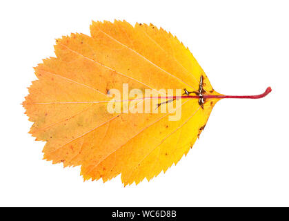 yellow fallen leaf of hawthorn, tree isolated on white background - Stock Photo