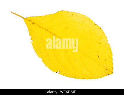 fallen yellow leaf of plum tree isolated on white background - Stock Photo