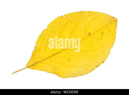 back side of fallen yellow leaf of plum tree isolated on white background - Stock Photo
