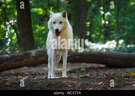 Portrait Of Arctic Wolf Standing In Forest - Stock Photo