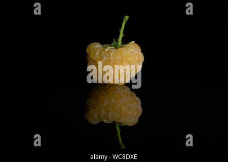 One whole fresh golden hymalayan raspberry with a stem isolated on black glass - Stock Photo