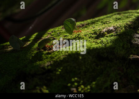 Close-up Of Ants Carrying Leaves On Mossy Rock - Stock Photo