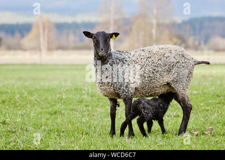 Portrait Of Sheep With Lamb Standing On Grassy Field - Stock Photo