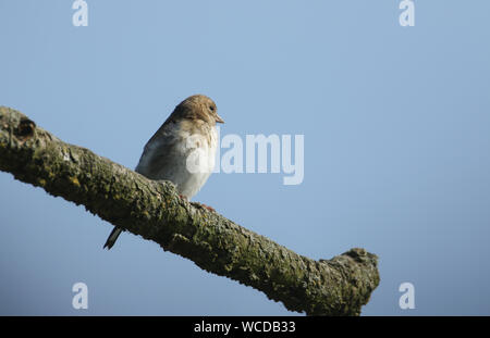 A beautiful juvenile Goldfinch, Carduelis carduelis, perched on a tree. - Stock Photo