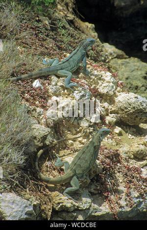 Green Iguanas (Iguana iguana), everywhere to find on Bonaire, Netherland Antilles - Stock Photo