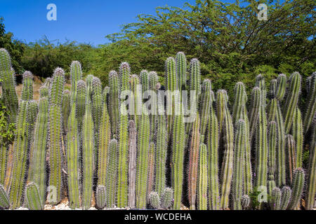 Natural fence made of huge cacti (Cactaceae), Bonaire, Netherland Antilles - Stock Photo