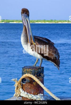 Brown pelican (Pelecanus occidentalis), Bonaire, Netherland Antilles - Stock Photo