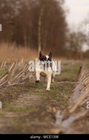 French Bulldog Running On Field - Stock Photo