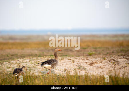 Greylag geese (Anser anser) on the salt marshes on Juist, East Frisian Islands, Germany. - Stock Photo