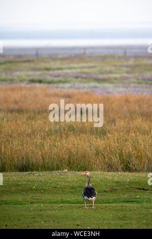 Greylag goose (Anser anser) on the salt marshes on Juist, East Frisian Islands, Germany. - Stock Photo