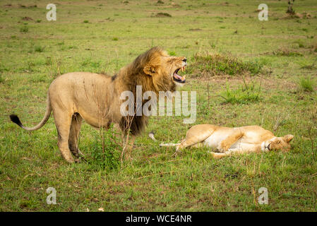 Male lion stands over lioness baring teeth - Stock Photo