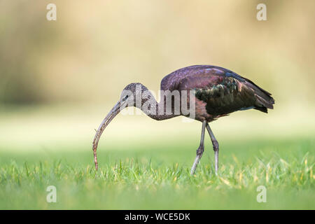 Glossy Ibis; Plegadis falcinellus; With Worm; Cornwall; UK - Stock Photo