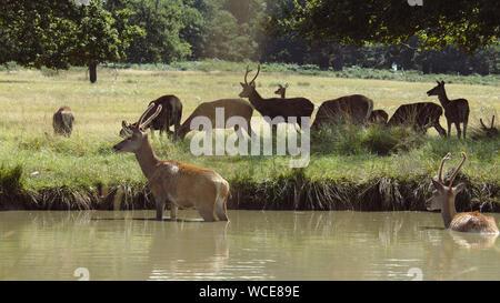 Deer in England - Stock Photo
