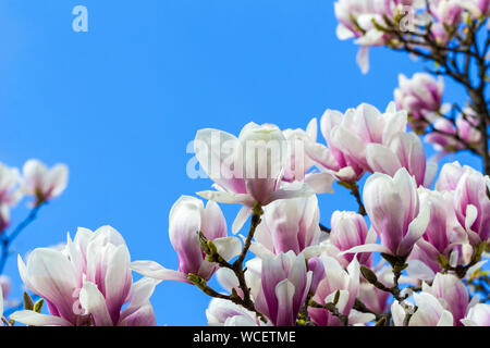 Low Angle View Of Magnolia Blooming Against Blue Sky - Stock Photo