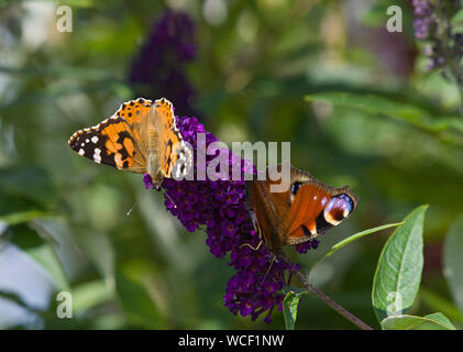 Painted lady butterfly, Cynthia cardui, with Peacock butterfly on Buddleia flower, Lancashire, UK - Stock Photo