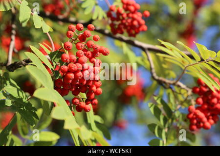 Rowan berries growing on a tree branch in sunny day, close-up. Medicinal berries of mountain-ash in summer - Stock Photo
