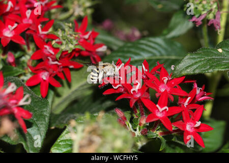 furry black and yellow bee a type of digger bee Latin family amegilla feeding on a red pentas lanceolata also called an Egyptian starcluster flower - Stock Photo