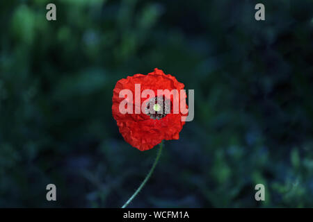 a single poppy Latin papaver rhoeas in the sunshine in Italy in Springtime a remembrance flower for war dead and veterans - Stock Photo