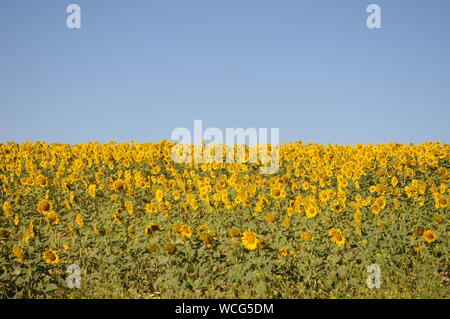 Sunflowers  in the fields during summer , nature and agriculture at Cadiz, Andalusia, Spain - Stock Photo