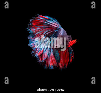Siamese Fighting Fish Swimming In Tank Against Black Background - Stock Photo