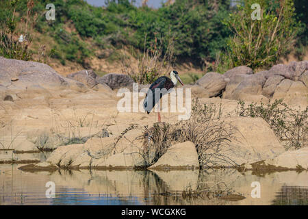 The woolly-necked stork or whitenecked stork (Ciconia episcopus) is a large wading bird in the stork family Ciconiidae, Ken River, Panna National Park - Stock Photo