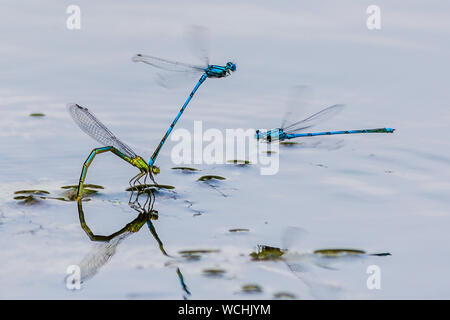 High Angle View Of Dragonflies Hovering Over Pond - Stock Photo