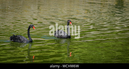 Couple of black swans in the lake - Stock Photo