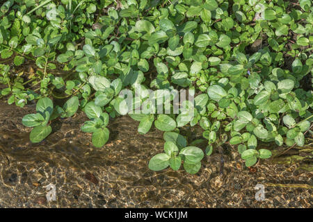 Brooklime / Veronica beccabunga foliage growing in a freshwater stream. Foraged and survival food containing Vitamin C. Once used in herbal remedies. - Stock Photo