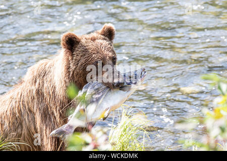 Grizzly Bear with a Salmon in its mouth beside the Nakina River hunting for Salmon, Ursus arctos horribilis, Brown Bear, North American, Canada, - Stock Photo