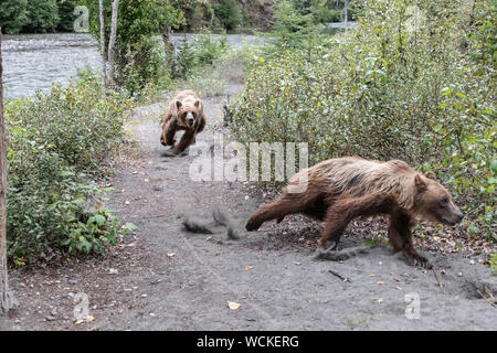 Female Grizzly Bear chasing off her young male cub, Ursus arctos horribilis, Brown Bear, North American, Canada, - Stock Photo
