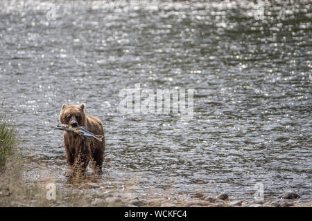 Grizzly Bear with a Salmon in its mouth in the Nakina River hunting for Salmon, Ursus arctos horribilis, Brown Bear, North American, Canada, - Stock Photo