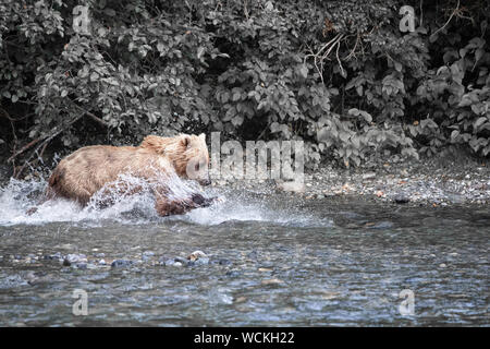 Grizzly Bear in the Nakina River hunting for Salmon, Ursus arctos horribilis, Brown Bear, North American, Canada, - Stock Photo